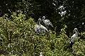 Asian openbill stork (Anastomus oscitans) from Ranganathittu Bird Sanctuary JEG4045.JPG
