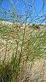Asparagus officinalis 2.jpg