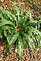 Asplenium scolopendrium Strypemonde 2.jpg