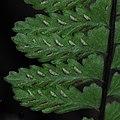 Asplenium sellowianum- Rivera, Bajada de Pena, Bajo bosque ribereño al margen del Arroyo David Ciego 5.JPG