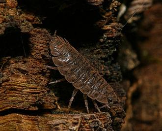 Myxogastria - Woodlouse with myxogastria spores