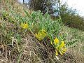 Astragalus exscapus sl11.jpg