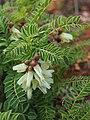 Astragalus lusitanico 039.JPG