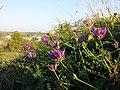 Astragalus onobrychis sl12.jpg