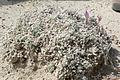 Astragalus phoenix 1.jpg