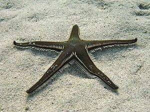 Paxillosida - Image: Astropecten bispinosus Sardegna 06 3284