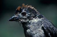 Atlapetes leucopterus -NBII Image Gallery-a00293