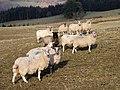 Attentive sheep at Whiteside Farm - geograph.org.uk - 1723185.jpg