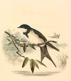 Atticora melanoleuca 1894.jpg