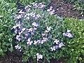 Aubrieta × cultorum - Kew Gardens 1.jpg