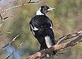 Australian Magpie JCB.jpg