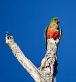 Australian king parrot (32376856202).jpg