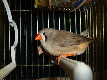 English: Domesticated Zebra Finch Taeniopygia ...