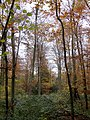 Autumn Colour in Leigh Woods - November 2013 - panoramio.jpg