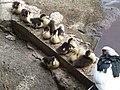 Baby Quack Quacks (88847026).jpg