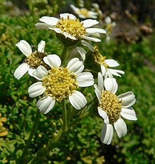 <i>Bahia</i> (plant) genus of plants