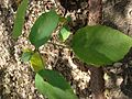 Baliospermum montanum 11.JPG
