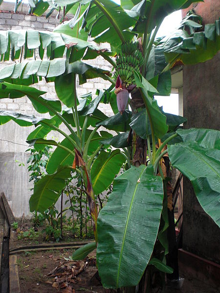 படிமம்:Banana trees in home.jpg