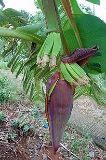 Infiorescenza di banana, si osservano le brattee (rosse) i fiori (gialli) e le future banane (verdi)