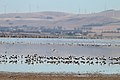 Banded Stilts and Red-necked Avocets (25054490465).jpg