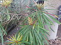 Banksia aquilonia RBG2.jpg