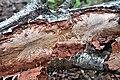 Bark beetle tracks on a dead birch tree.jpg