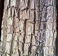Bark of Terminalia arjuna.jpg