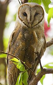 Barn Owl por NA Nazeer.jpg