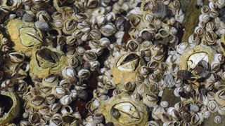 File:Barnacles in Cape Elizabeth Maine.ogv