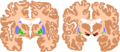 Basal ganglia.png