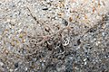 Basket star (Family Euryalidae).jpg