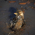 Bathing Sparrow (4098577925) (3).jpg