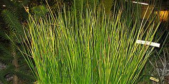 Baumea - Baumea rubiginosa in cultivation
