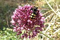 Bee or wasp or what? (MakGi) (35114488624).jpg