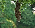 Bee swarm in Plymouth.jpg