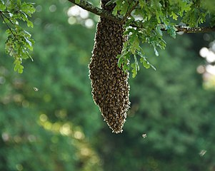 Roj včiel