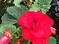 Begonia 海棠 - panoramio.jpg