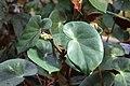 Begonia inciso-serrata GotBot 2015 002.JPG