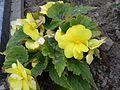 Begonia tuberhybrida 0.1 R.jpg