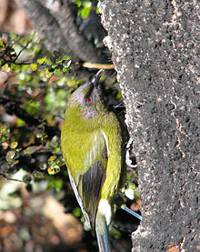 Image of New Zealand Bellbird feeding on honeydew on the trunk of a mountain beech tree. Craigeburn Forest.
