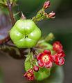 Bellyache Bush (Jatropha gossipifolia) in Hyderabad, AP W2 IMG 9378.jpg