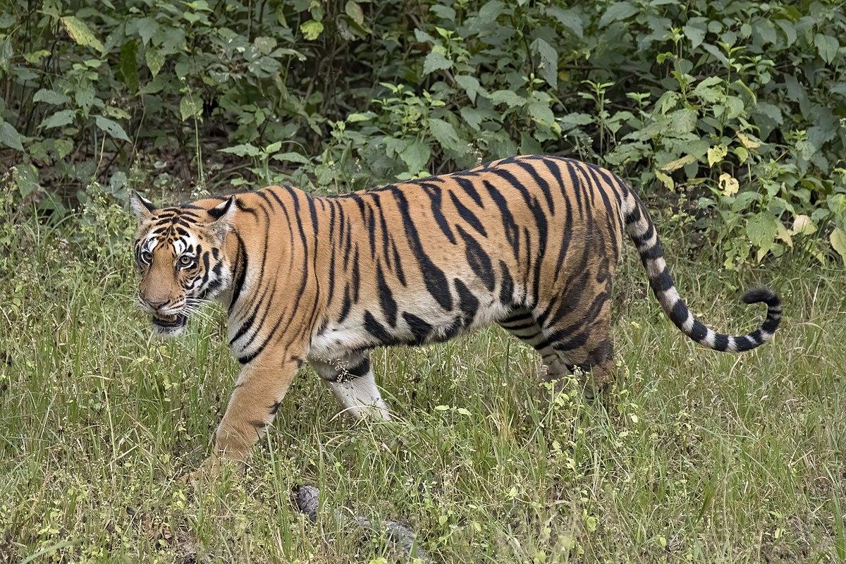 Tiger - Wikipedia