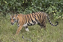 เสือเบงกอล (Panthera tigris tigris) female 3 crop.jpg