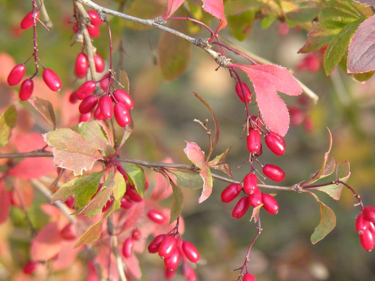 Wildfrüchte – Wikipedia