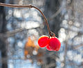 Berries in snowy forest.jpg