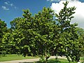 Betula maximowicziana (monarch birch) 1 (39658882711).jpg