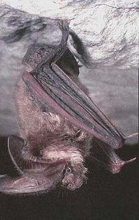 Ozark big-eared bat subspecies of mammal