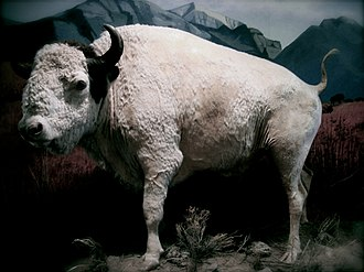 National Bison Range - Big Medicine on display at the Montana Historical Society museum