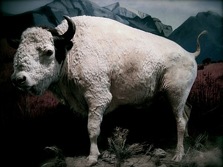 Big Medicine (1933-1959) was a sacred white buffalo that lived on the National Bison Range (permanent display at the Montana Historical Society) Big-Medicine.jpg