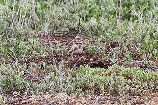 Bimaculated lark species of bird